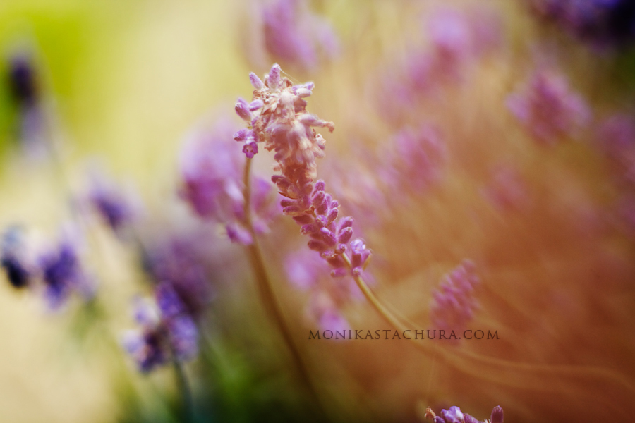Lavender / Monika Stachura Photography
